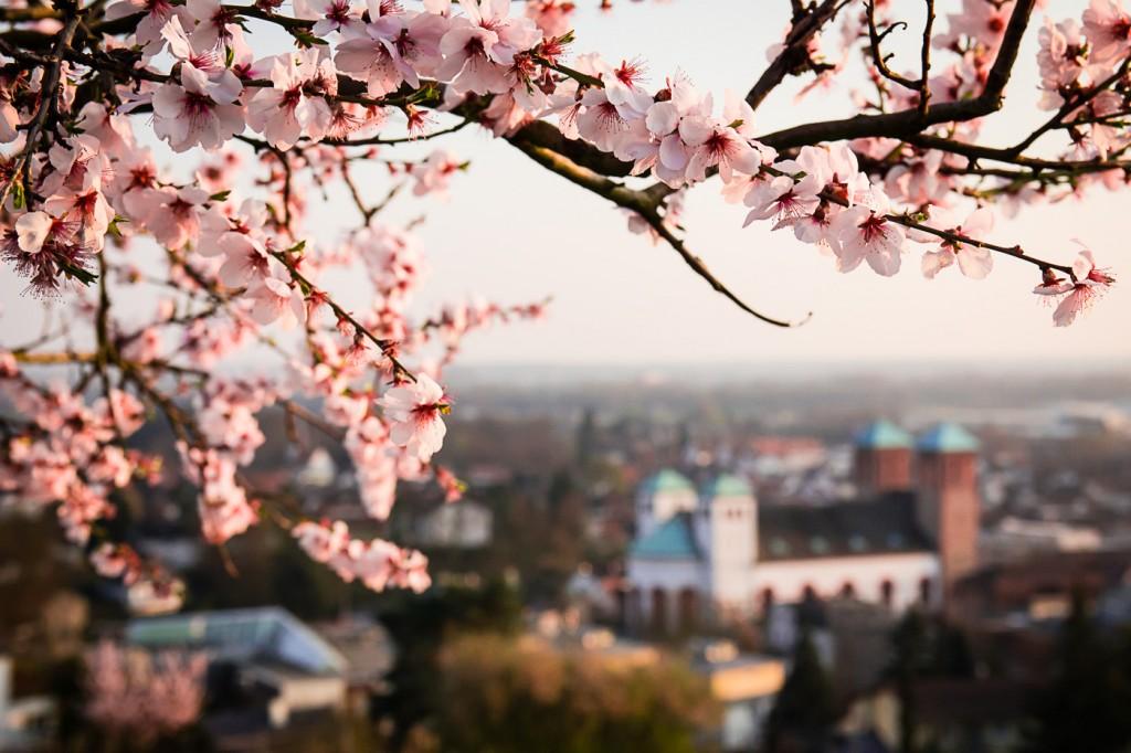 Mandelblüte in Bensheim